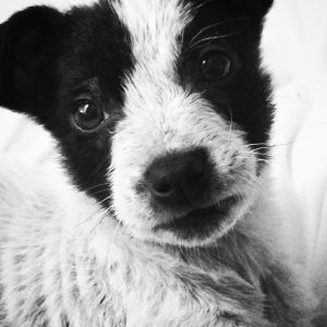 close up of Fox Terrior puppy face